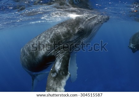 young humpback whale swimming close to her mother - stock photo
