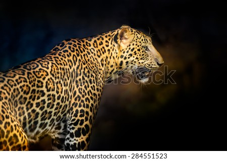Young hunter leopard on the dark background - stock photo