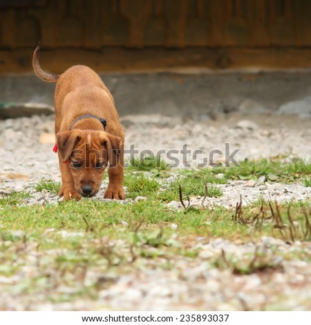 young hunting dog ( hungarian vizsla ) in training, smelling the ground - stock photo