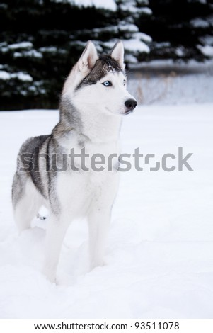 Young Husky on white snow background - stock photo