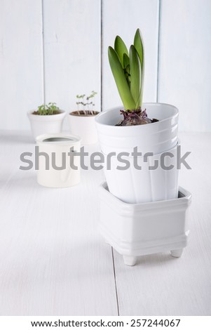 Young hyacinth bulb (with  leaves and buds) in a flowerpots  on white background. - stock photo