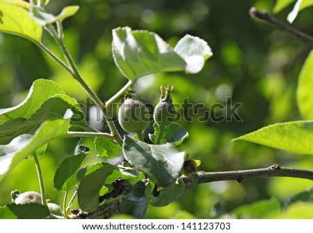 young immature fruits of Apple on a branch, Russia, near Moscow - stock photo