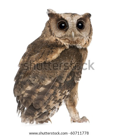 Young Indian Scops Owl, Otus bakkamoena, in front of white background - stock photo