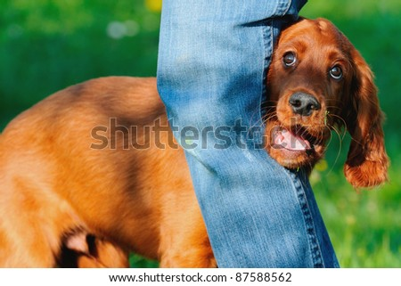 young Irish Setter Dog Puppy 4 months dog dancing - stock photo