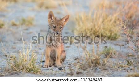 Young jackal Kalahari desert - stock photo