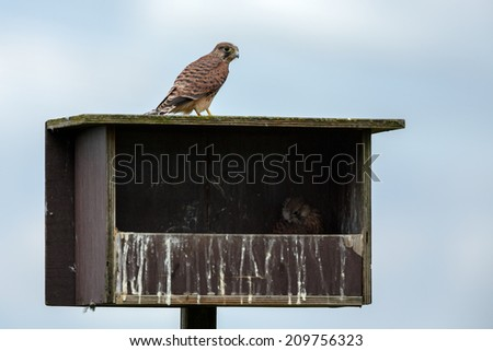 Young juvenile european kestrel on a nesting box - stock photo