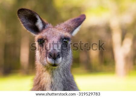 Young Kangaroo looking close-up - stock photo
