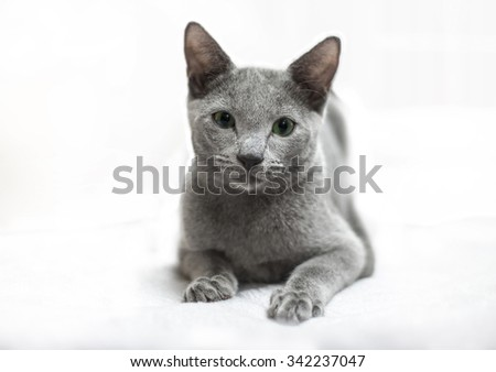 young kitty British shorthair cat isolated on white background - stock photo