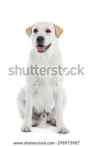 young Labrador dog  isolated on white background - stock photo