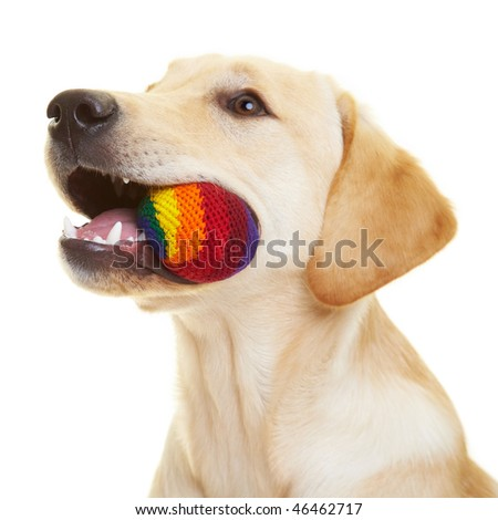 Young Labrador Retriever chewing on a ball - stock photo