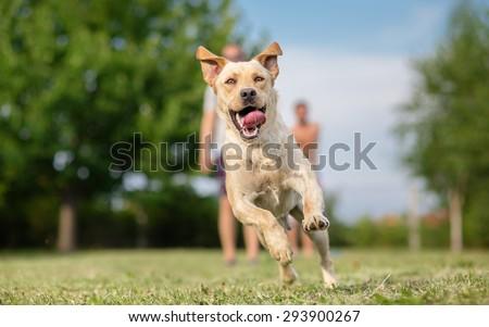Young Labrador retriever dog in run - stock photo