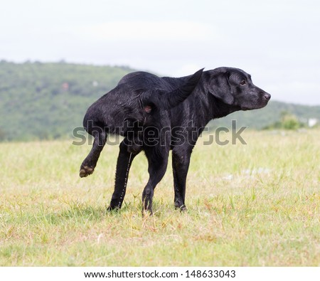 Young Labrador Retriever in urine. - stock photo