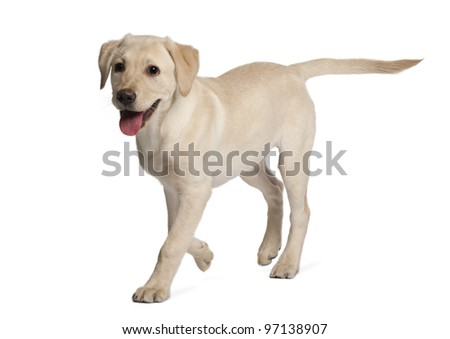 Young Labrador Retriever, 4 months old - stock photo