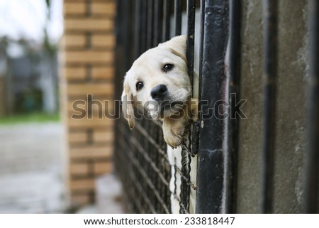 Young Labrador retriever puppy - stock photo