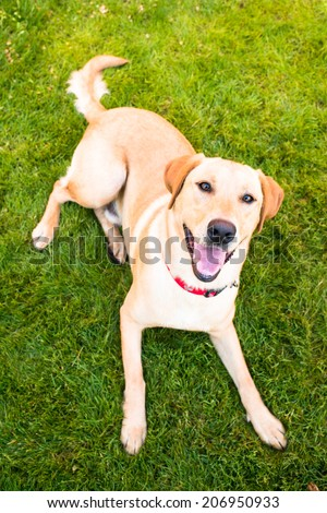 Young Labrador Retriever Relaxing on Green Grass After Walk - stock photo