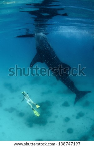 Young lady diving on a breath hold by a whale shark - stock photo