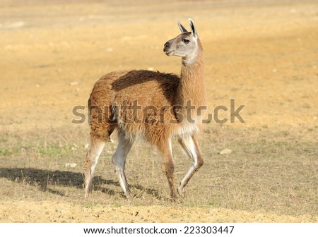 Young lama stay on the field - stock photo