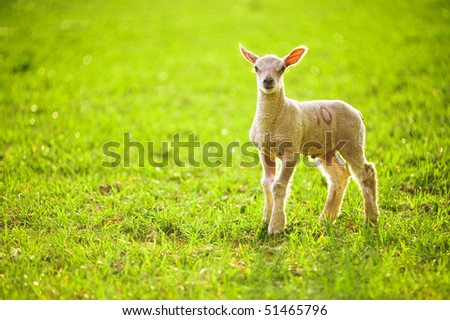 Young Lamb In Sunlight - stock photo