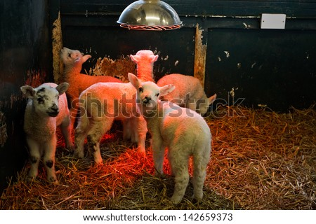 Young lambs being reared indoors in a small pen by a farmer under a heat lamp to keep them warm - stock photo