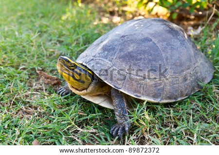 young land turtle on grass - stock photo