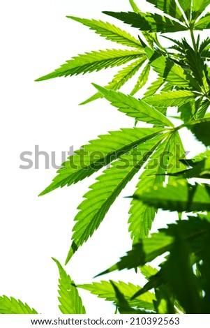 Young leaf of marijuana plant detail at sunset. Closeup isolated on white background. - stock photo