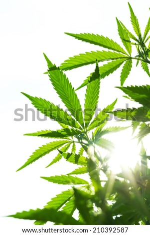 Young leaf of marijuana plant detail at sunset. Closeup isolated on white background. - stock photo