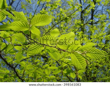 Young leaves of beech tree in the sunlight in spring - stock photo
