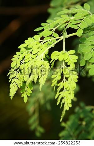 Young leaves of Moringa oleifera - stock photo
