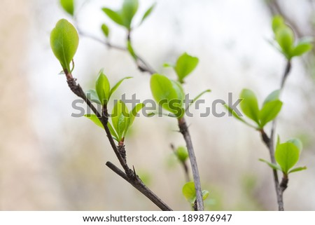 Young leaves. Spring. (Soft focus). - stock photo
