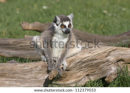 Young lemur, a ring tailed lemur sitting on a piece of wood, on a sunny summer's day. - stock photo