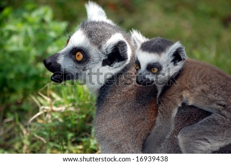 young lemur sitting on mom in zoo in Poland - stock photo