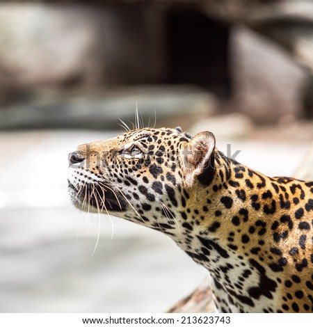 Young leopard look fixedly at the bait - stock photo