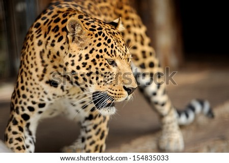 Young leopard on dark background - stock photo