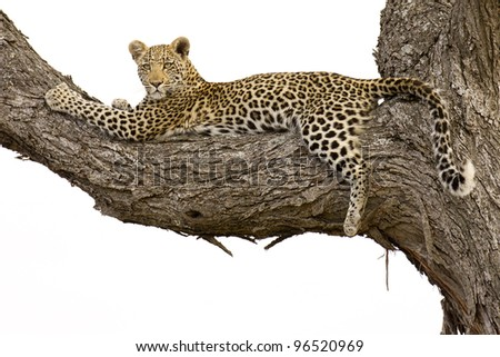 Young Leopard (Panthera pardus), in a tree, Kruger Park, South Africa - stock photo