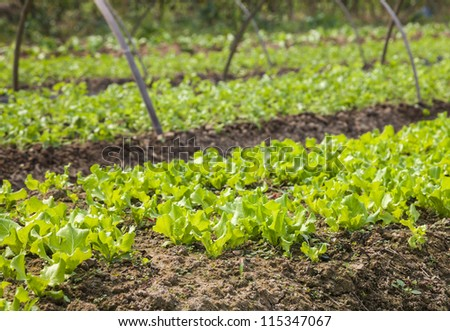 young lettuce growing in the land - stock photo