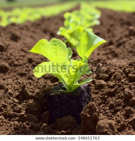 young lettuce in the field - stock photo