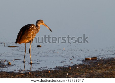 Young limpkin hunts for food - stock photo