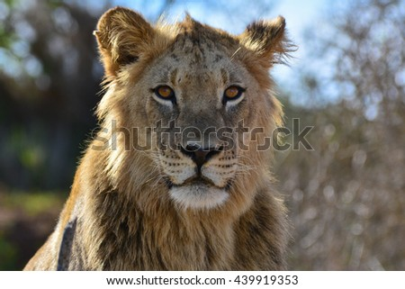 Young lion - stock photo