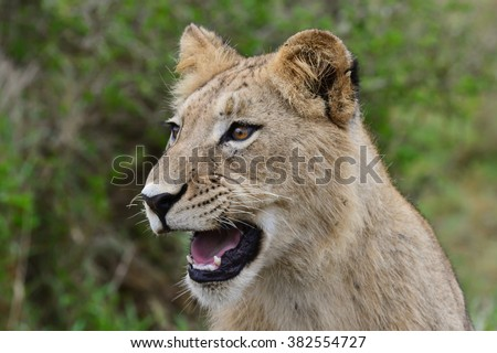 Young lion Cub - stock photo