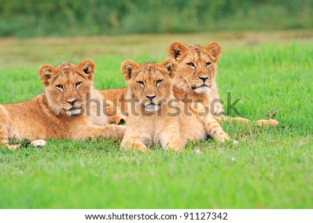 Young lion cubs - stock photo