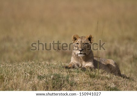 Young lion resting in open ground - stock photo