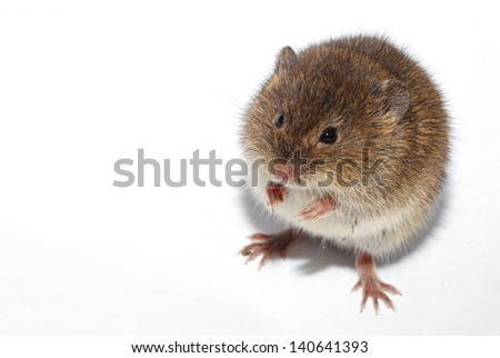 young little brown mouse on white background - stock photo