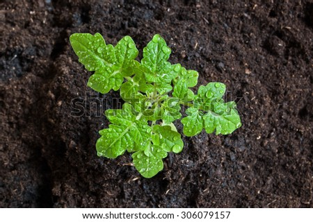 Young little tomato plant in soil, water drops on its leaves after watering. - stock photo
