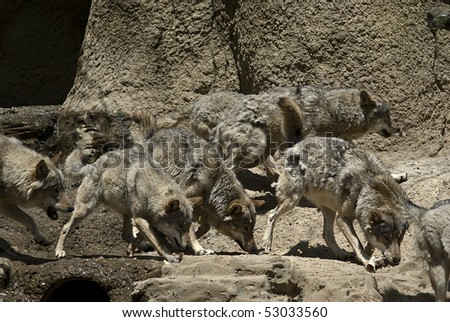 Young lively wolfs take their everyday vitamin supplement - stock photo