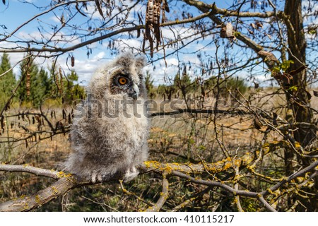 Young Long-eared owl on the branch of a tree. - stock photo