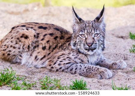 Young lynx cub lying on the sand - stock photo