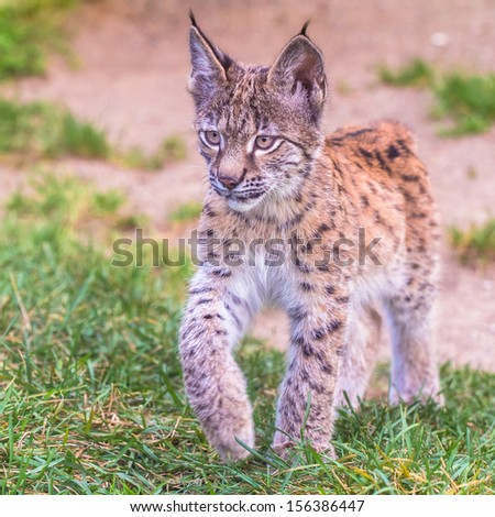 Young lynx walking on the grass - stock photo