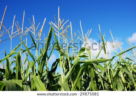 Young maize against blue sky - stock photo