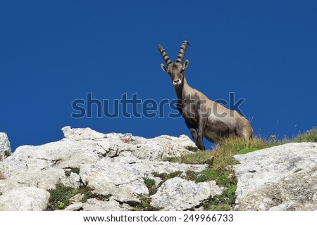 Young male alpine ibex looking down - stock photo