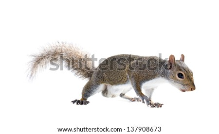 Young male American gray squirrel. Isolated on white background - stock photo